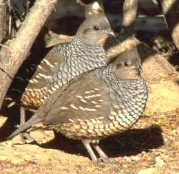 scaled quail pair